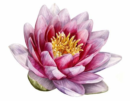 waterlily by Jarnie Godwin