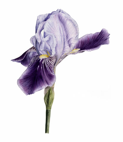 Iris by Jarnie Godwin